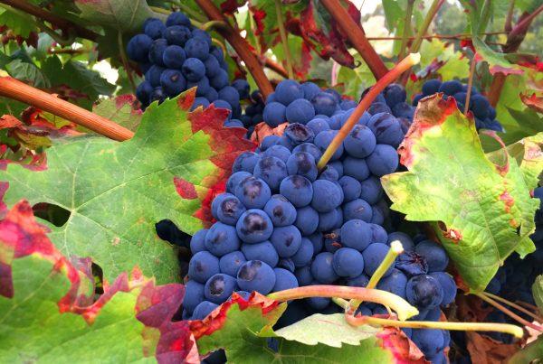 Subvenciones para inversiones en el sector vitivinícola español